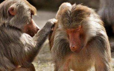 Primates por José Luis López de Guereñu – devellabella